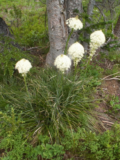 0907Beargrass Blooms